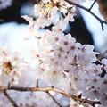 Photos: 井の頭公園(桜)_0204