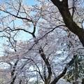 Photos: 井の頭公園(桜)_0205
