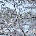 Photos: 井の頭公園(桜)_0206