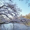 Photos: 井の頭公園(桜)_0208