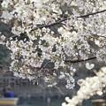 井の頭公園(桜)_0210