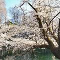 井の頭公園(桜)_0211