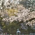 井の頭公園(桜)_0212