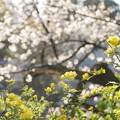 井の頭公園(桜)_0213