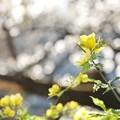 井の頭公園(桜)_0214