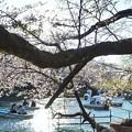 井の頭公園(桜)_0215