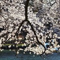井の頭公園(桜)_0216