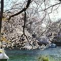 井の頭公園(桜)_0217