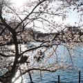 井の頭公園(桜)_0218