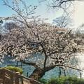 井の頭公園(桜)_0219