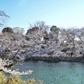 井の頭公園(桜)_0220
