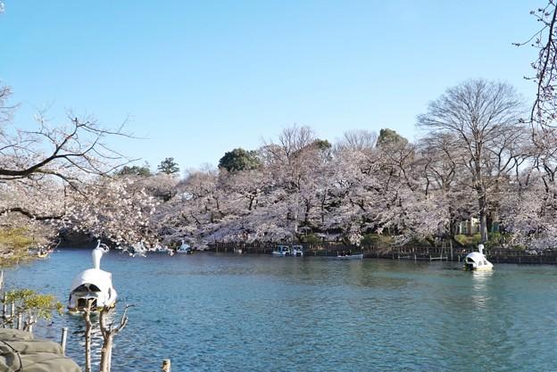 井の頭公園(桜)_0222