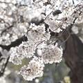 井の頭公園(桜)_0223