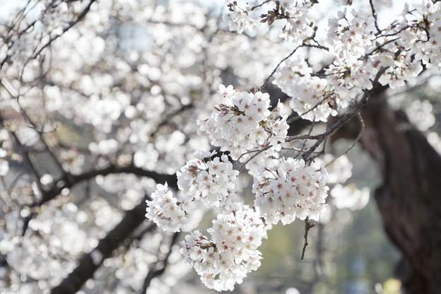 Photos: 井の頭公園(桜)_0224