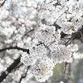 井の頭公園(桜)_0224