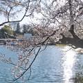 井の頭公園(桜)_0225