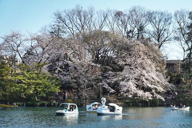 井の頭公園(桜)_0226