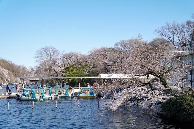 井の頭公園(桜)_0228