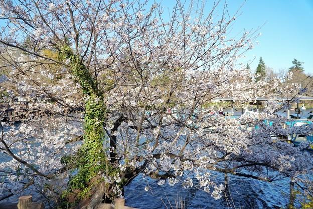井の頭公園(桜)_0229