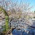 Photos: 井の頭公園(桜)_0229