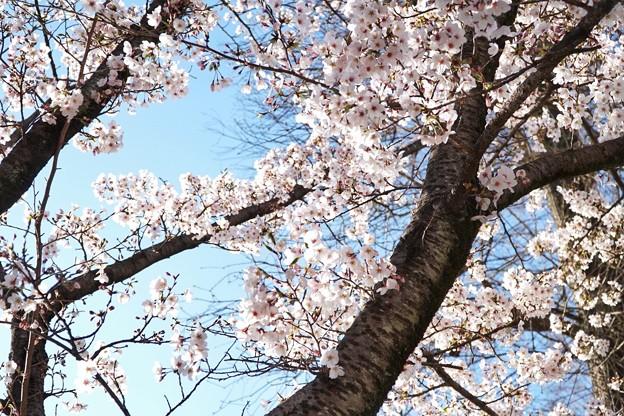 井の頭公園(桜)_0230