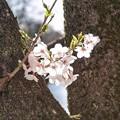 Photos: 井の頭公園(桜)_0231