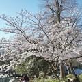 井の頭公園(桜)_0232