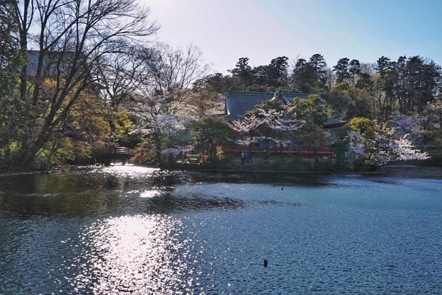 井の頭公園(桜)_0233