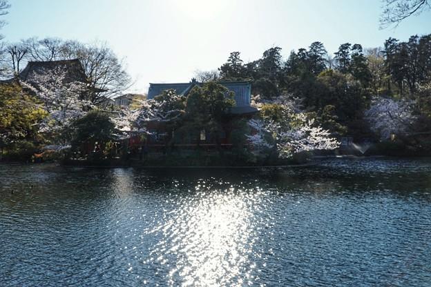 井の頭公園(桜)_0234