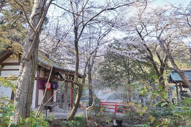 井の頭公園(桜)_0236