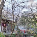 Photos: 井の頭公園(桜)_0236