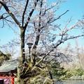 井の頭公園(桜)_0238