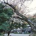 深大寺(桜)