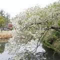 三渓園の桜_0320