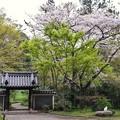 三渓園の桜_0321