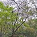三渓園の桜_0322
