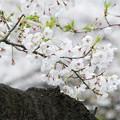 三渓園の桜_0323
