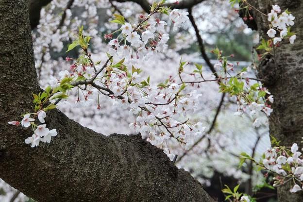 三渓園の桜_0324