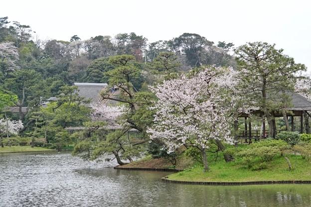 三渓園の桜_0325