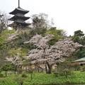 三渓園の桜_0326