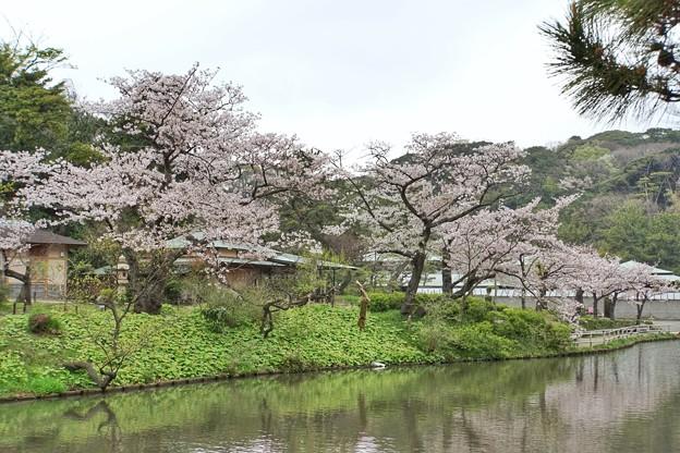 三渓園の桜_0329
