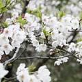 三渓園の桜_0330