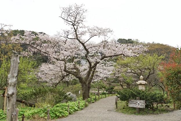 三渓園の桜_0331