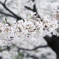三渓園の桜_0332