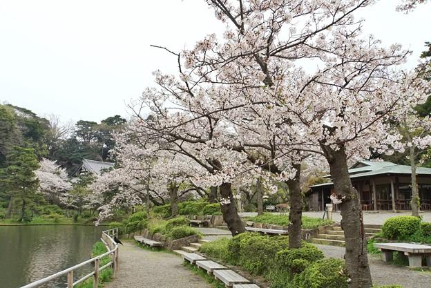 三渓園の桜_0333