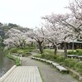 三渓園の桜_0334