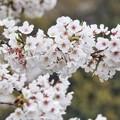 三渓園の桜_0335