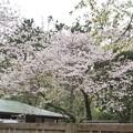 三渓園の桜_0336
