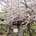 さくら散歩_0451