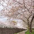 Photos: さくら散歩_0459